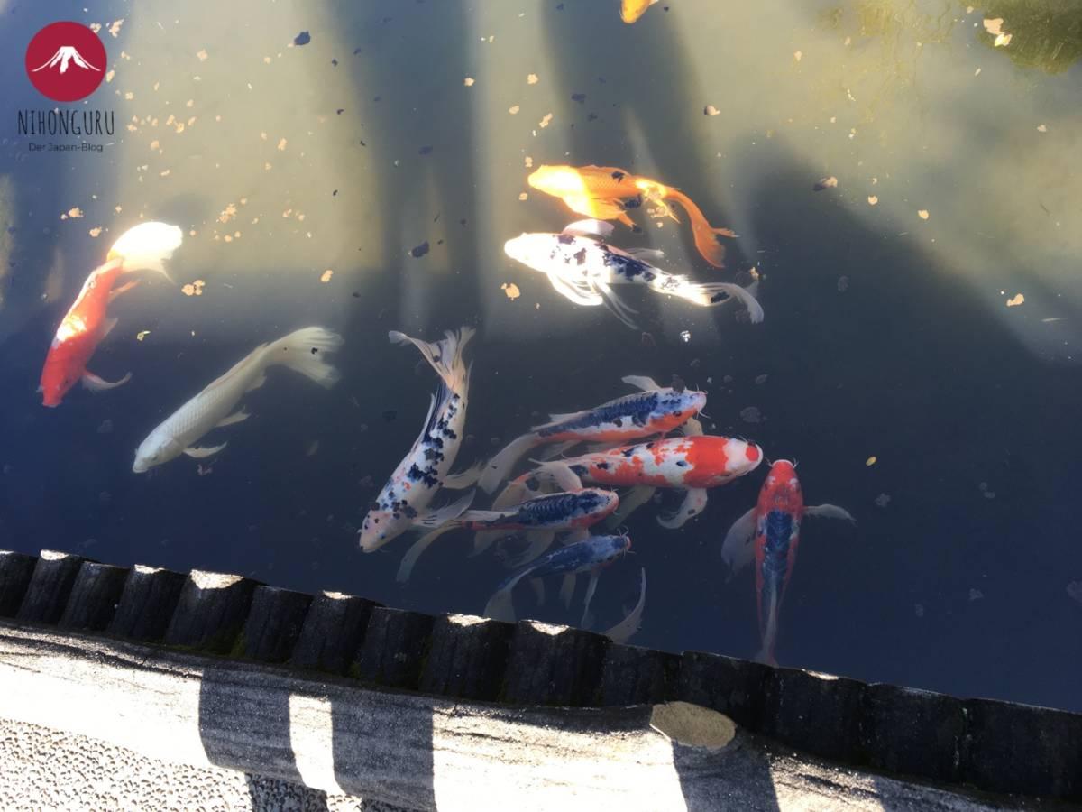 Koi-Karpfen Teich östlicher Garten